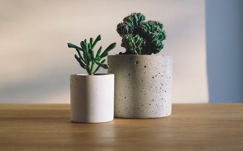 kaktusi podiņos